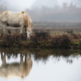 Horse Camargue  by Gianfranco Pucher - Animals Horses ( water, calm, mirror, wild, winter, horses, nature, fog, camargue, peace, white )