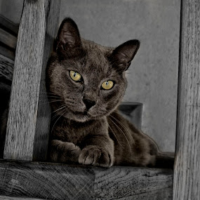 Micko by Suzana Svečnjak - Animals - Cats Portraits ( russian blue, animals, cat, pet )