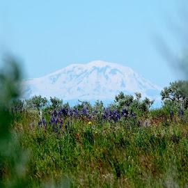 Mt Adams from the Rattlesnake hills by Julia Van Klinken Myers - Landscapes Mountains & Hills ( spring flowers, hills, desert, mountain, flowers, snowy volcano, spring, springtime )