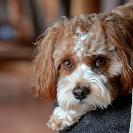 Cavapoo Stare down by Steven Liffmann - Animals - Dogs Portraits ( puppy, cavapoo, dog, closeup, portrait, cure, eyes )