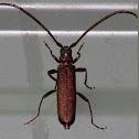 Large Brown Longicorn Beetle
