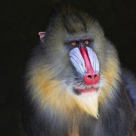 Mandrill portrait - Black background by Fiona Etkin - Animals Other Mammals ( detail, ape, texture, mandrill, vibrant, primate, monkey, animal )