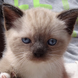 Persian kitten blue eyes by Josh Riddle - Animals - Cats Kittens