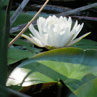 American White Water Lily