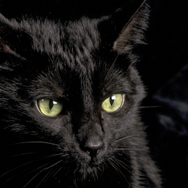 Black is better by Alessandro Ciannarella - Animals - Cats Portraits ( ritratti, animals, cat, alcianna photo, relax, primavera, soul, relaxation, relaxing, spring, black cat, portrait, natura, gatti, relaxed, animali, portraits, springtime, black, animal )
