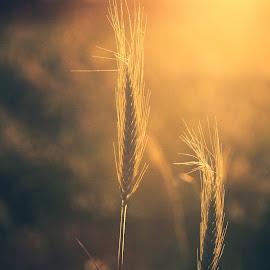 Wheat by Hugo Sousa - Nature Up Close Other plants ( wheat, trigo, natureza, plantas, plants )