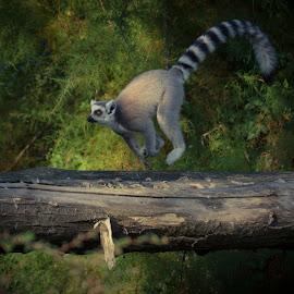 Run Lémurien Run   by Avtar Singh - Animals Other ( nature, wildlife, running, dead tree, animal, lemurien )