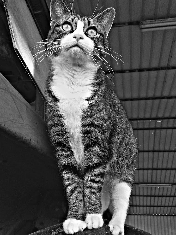by Lindsey Ballard Gray - Animals - Cats Portraits (  )