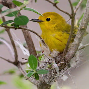 Nesting Yellow Warbler by Susan and Arwinder Nagi - Animals Birds ( nature, birds, warblers,  )