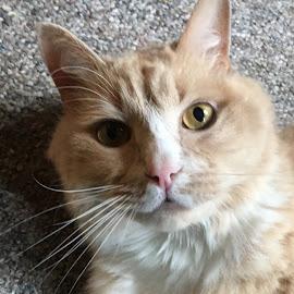 Skuttle Eyes by Kristine Nicholas - Novices Only Pets ( orange, orange cat, cat, kitten, pet photography, ginger, gray, ginger cat, pet portrait, pet, buff, feline, kitty,  )