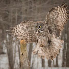Great Grey Owl by Rolland Gelly - Animals Birds ( rolland quebec canada )