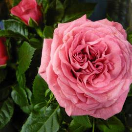 For pleasure  by Helena Moravusova - Flowers Flower Arangements ( flowers, rose )