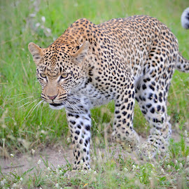 Leopard on Trail by Sean & Richard Photography - Animals Lions, Tigers & Big Cats ( big cat, predator, wild, carnivore, big cats, wildlife, africa, leopard )