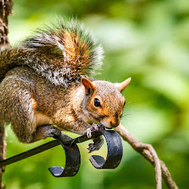 Hanging Out by Carol Plummer - Animals Other Mammals ( squirrel )