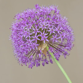 the color purple by Deborah Felmey - Flowers Single Flower ( flowers, bloom, nature, purple, flower,  )