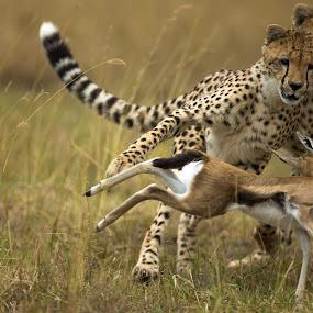 Trip! by Jaideep Abraham - Animals Lions, Tigers & Big Cats ( savannah, wild, cheetah, maasai mara, nature, speed, wildlife, kenya, hunt, cubs, gazelle, africa )