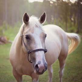 Miley by Emilee Self - Animals Horses ( equine, sunset, horse, palamino, animal )