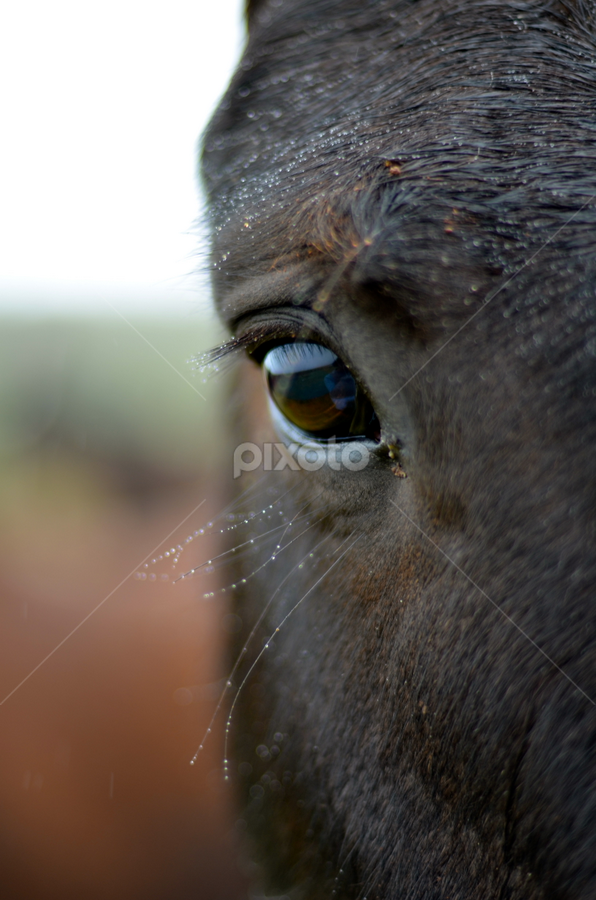 Horse eye by Mauritz Janeke - Animals Horses ( horse, eye,  )