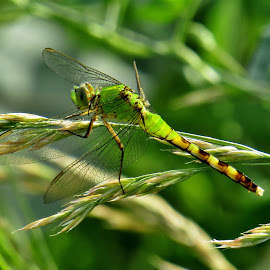 That Green Glow by Howard Sharper - Animals Insects & Spiders ( dragonfly, green, glowing, nature up close, wildlife )