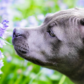 Skye, don't get stung by Rob Jarvis - Animals - Dogs Portraits ( smell, skye, bee, bumblebee, bluebell, dog, nose, flower )