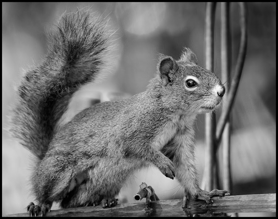 Red Squirrel by Dave Lipchen - Black & White Animals ( red squirrel )