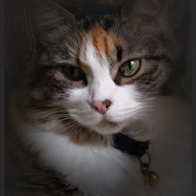 Calliegirl by Suzy Sutton - Animals - Cats Portraits