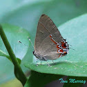 Dusky-blue Groundstreak