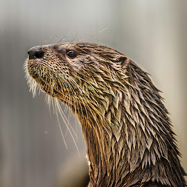 Otter by Carol Plummer - Animals Other