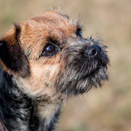 Lovely Etta by Erin Schwartzkopf - Animals - Dogs Portraits ( terrier, border terrier, black and tan, cute dog, fuzzy face )