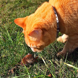 Tom and Jerry by Dobrin Anca - Animals - Cats Playing ( countryside, cat, mouse, data, brittany )