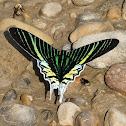 Green-banded Urania