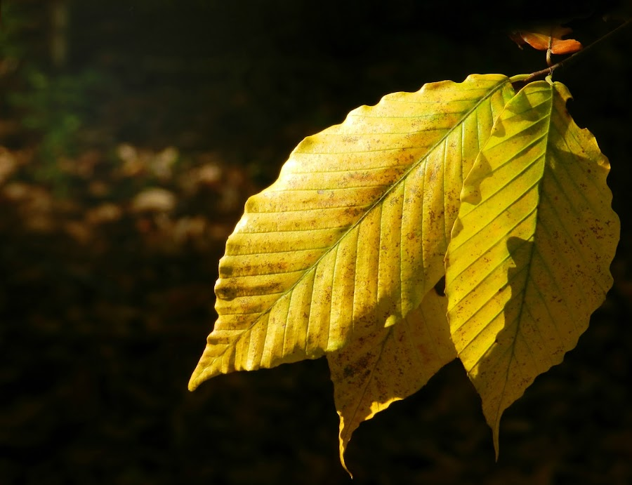 Fall Leaves by Karen Carter Goforth - Nature Up Close Leaves & Grasses ( fall, yellow, leaves,  )