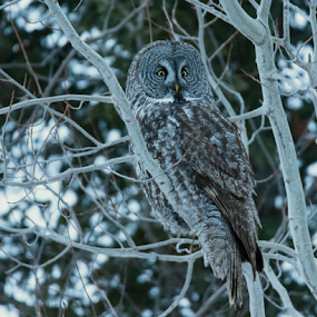 Perfect Camouflage by Jill Beim - Animals Birds ( great gray owl, raptor, night, after sunset, dusk, owls )