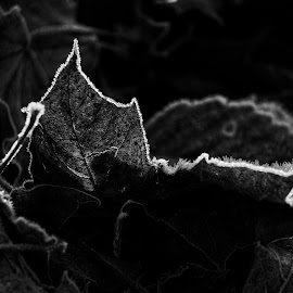 Backlight beauty  by Todd Reynolds - Black & White Flowers & Plants