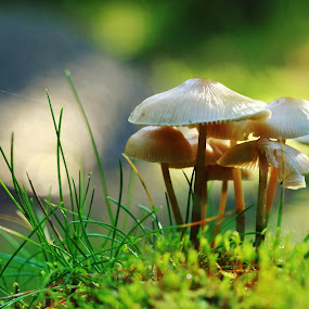 Vokshatte i modlys. by Ove Andersen - Nature Up Close Mushrooms & Fungi