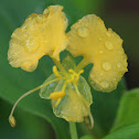 Yellow Commelina
