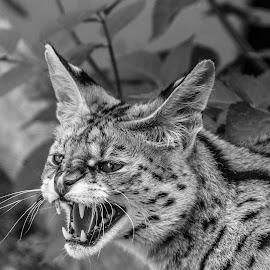 Serval by Garry Chisholm - Black & White Animals ( cat, serval, nature, garrychisholm )