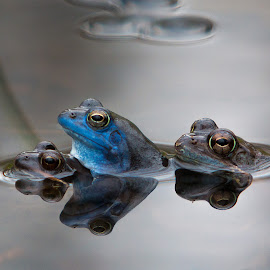 Threesome by Gregor Grega - Animals Amphibians ( water, blue frog, frogs, rana arvalis, amphibians )