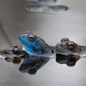 Threesome by Gregor Grega - Animals Amphibians ( water, blue frog, frogs, rana arvalis, amphibians,  )