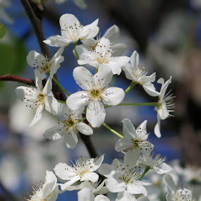The Beauty of Spring by M.H. O'Dell - Flowers Tree Blossoms