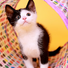 Polka Dot Party by Ranee Rose - Animals - Cats Kittens ( cats, cat, kitten, polka dot, colorful, colors, pets, whiskers, yellow, paws, kittens, cute )