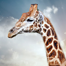 Giraffe Portrait by Pieter J de Villiers - Animals Other ( mammals, animals, other, giraffe, portrait )