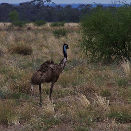 Emu by Sarah Harding - Novices Only Wildlife ( bird, nature, outdoors, novices only, wildlife )