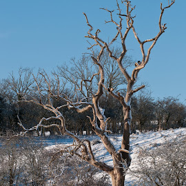 Seen better days by Stephen Crawford - Nature Up Close Trees & Bushes ( snow, river ayr, walk, dead tree, annbank,  )