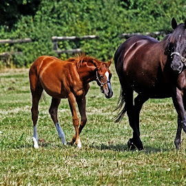 Mare and foal again by Michael Moore - Animals Horses