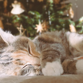 Viona by MD Nani - Animals - Cats Kittens ( southtyrol, sleeping cat, cat, kitten, vintage, young cat, christmas, sleeping, kittens, sleep, light, young )