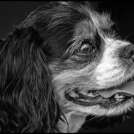 Bridget by Dave Lipchen - Black & White Animals ( bridget, king charles spaniel )