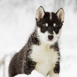 Aarluk by Kjersti Narmo - Animals - Dogs Puppies ( cute puppy, winter, polardog, snow, puppy, beauty, cute, dog, cute dog, king og the top )