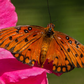 Gulf Fritillary by Judy Florio - Animals Insects & Spiders ( butterfly, gulf fritillary, turtle back zoo, nj, close up )