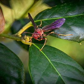 Wasp by Barry Blaisdell - Animals Insects & Spiders ( wasp, nature, colorful, outdoors, bug, leaves, insect, woods )